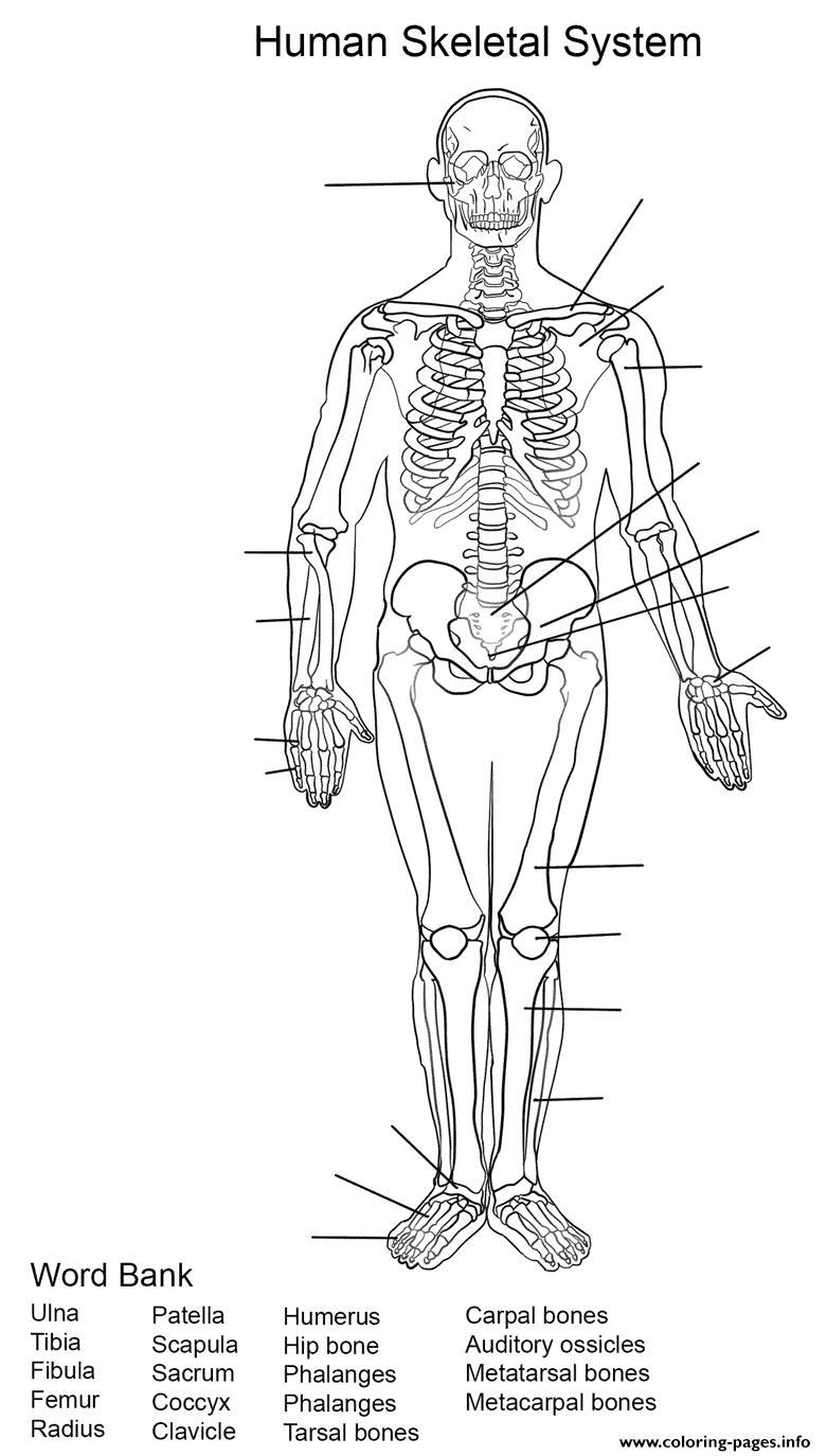 Human Skeletal System Worksheet Coloring Pages Printable
