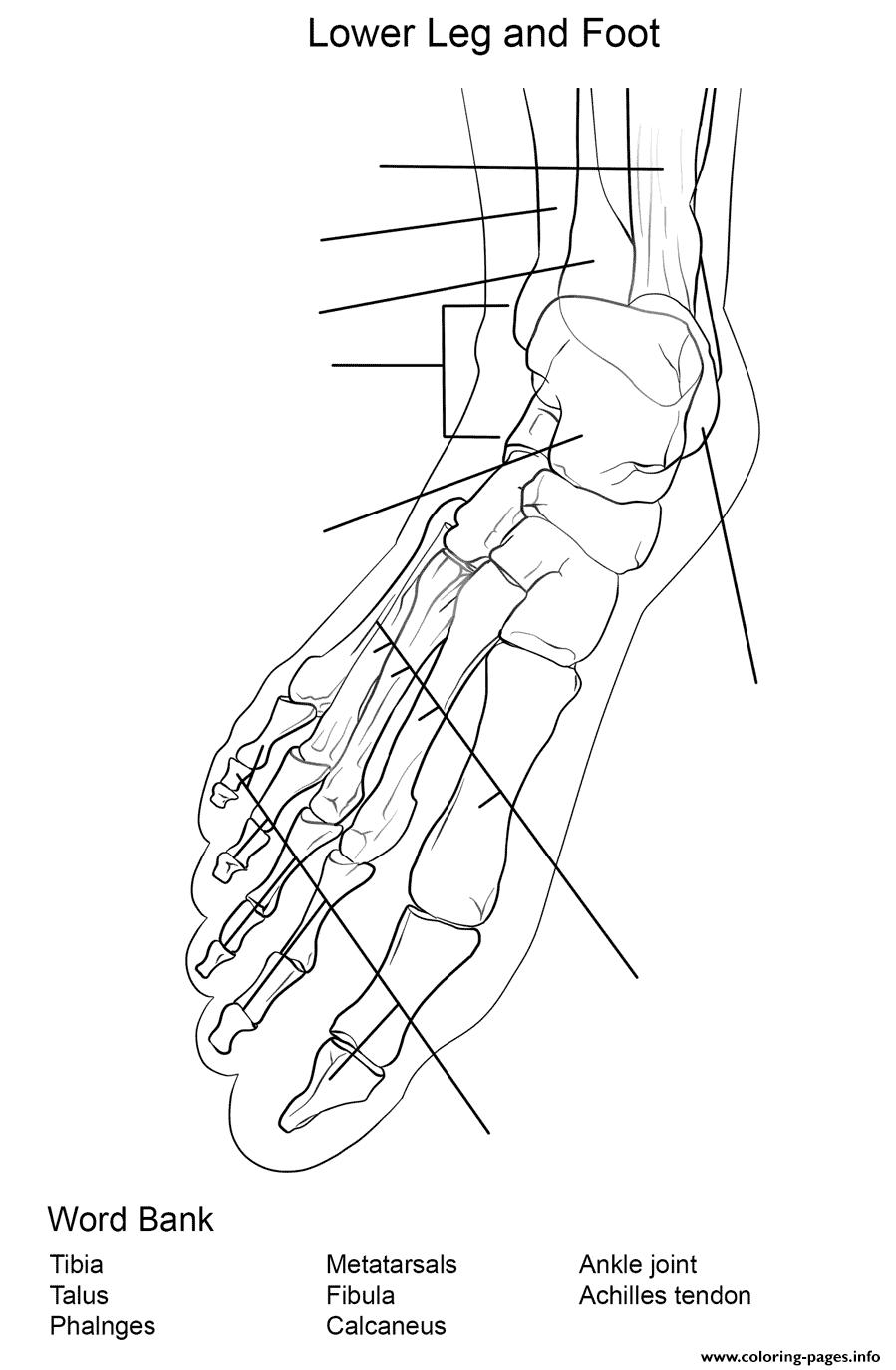 Foot Bones Anatomy Worksheet Coloring Pages Printable