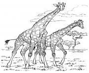 Printable adult africa giraffes coloring pages