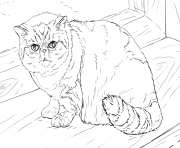 exotic shorthair cat coloring pages