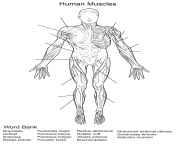 human muscles front view worksheet