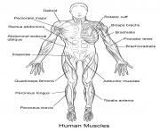human muscles front view