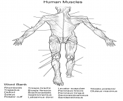 human muscles back view worksheet