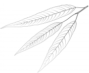 white willow leaf